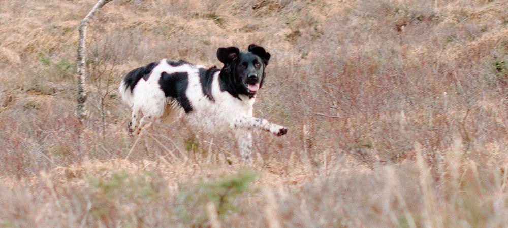 Stabyhoun som muldvarpjeger