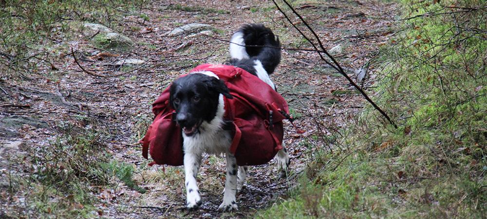 Stabyhoun er aktive hunder